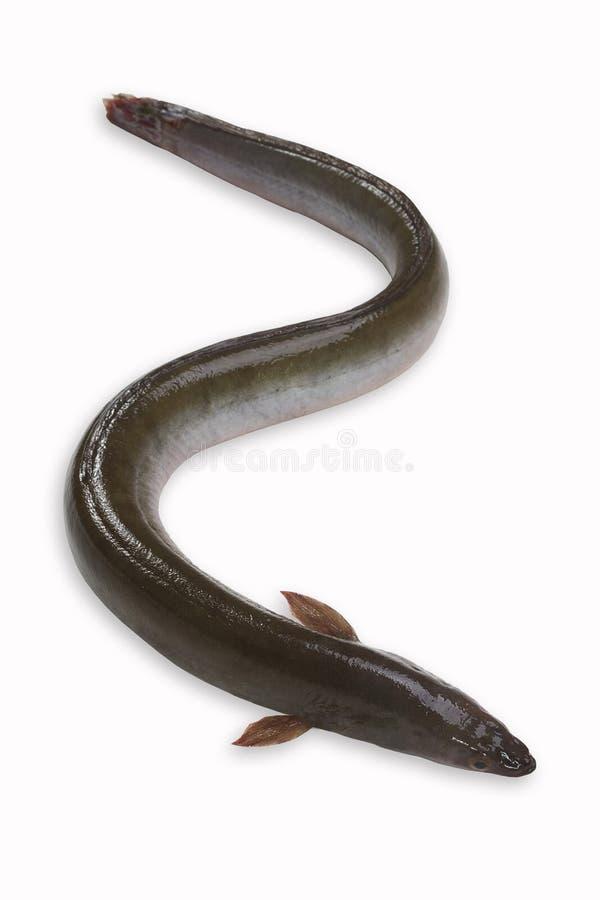 Eel. Fresh eel isolated on white background stock image