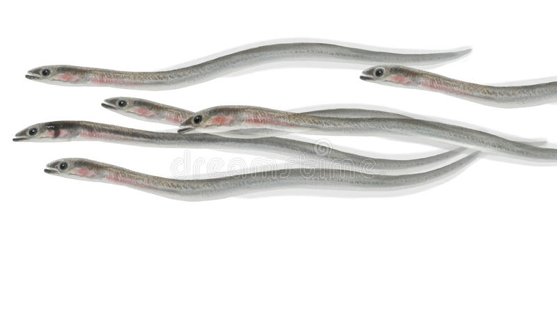 Eel elvers. Digital illustration of a group of Eel elvers royalty free illustration