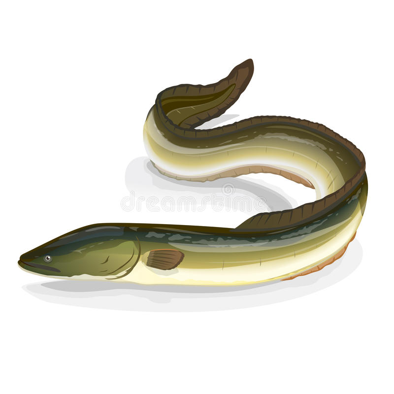 Eel fish. Realistic fish european eel, eps10 isolates on white stock illustration