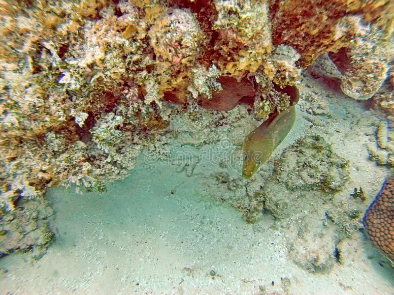 Eel under a coral head in the Bay Islands of Belize royalty free stock photography