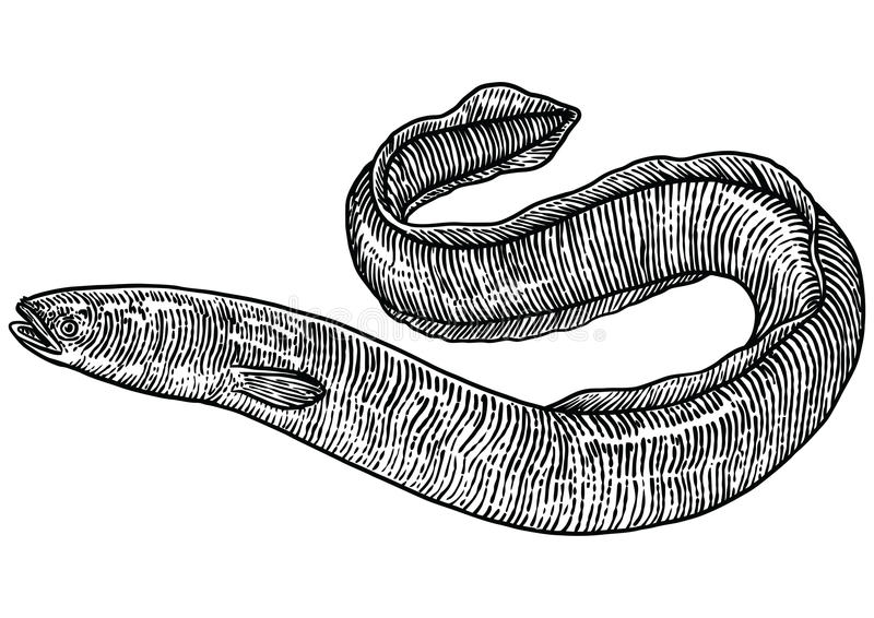 Eel illustration, drawing, engraving, line art, realistic. Eel, what made by ink, then it was digitalized royalty free illustration