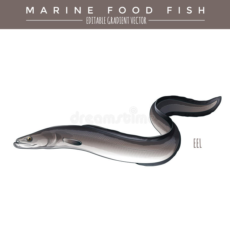Eel. Marine Food Fish. Eel illustration. Marine food fish, editable gradient vector vector illustration