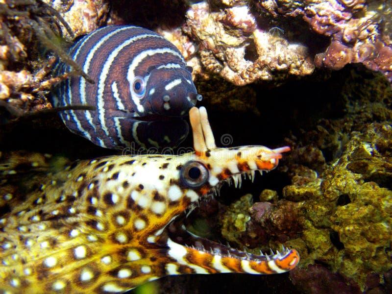 Eels royalty free stock photos