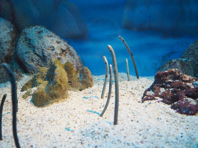 Eels in the sea. With selective focus stock photo