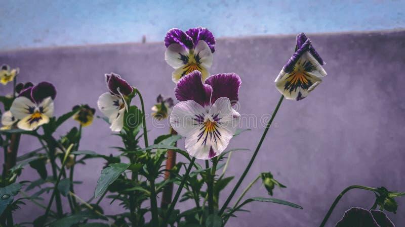 Een 'bos van Viooltjebloemen ' royalty-vrije stock fotografie