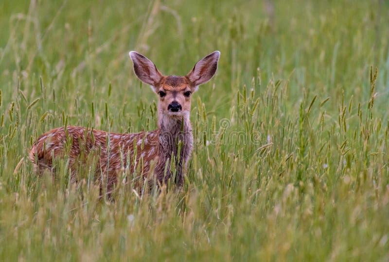 Een Aanbiddelijk Hert Fawn in een Grasrijke Weide in Colorado stock foto