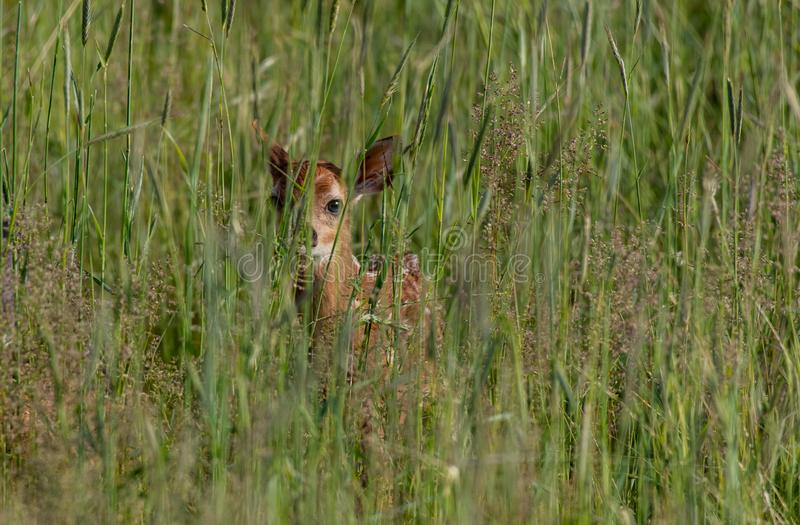 Een Aanbiddelijk Hert Fawn in een Grasrijke Weide in Colorado stock afbeeldingen