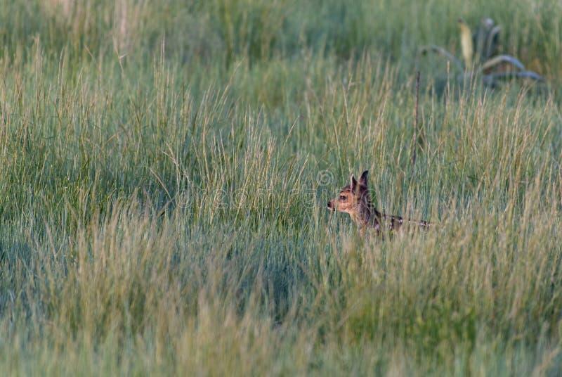 Een Aanbiddelijk Hert Fawn in een Grasrijke Weide in Colorado stock afbeelding