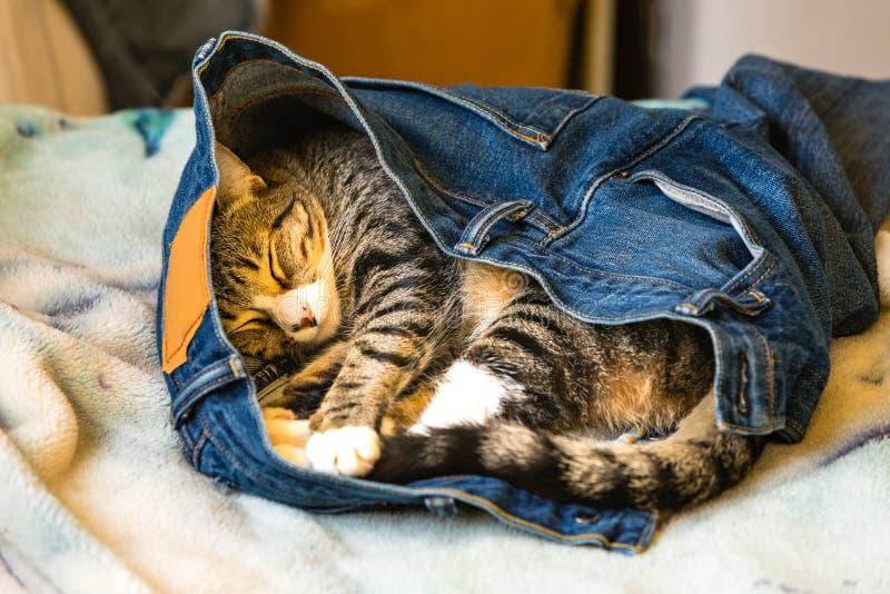 Een aanbiddelijke katjesslaap in de jeans van iemand op een bed royalty-vrije stock afbeelding