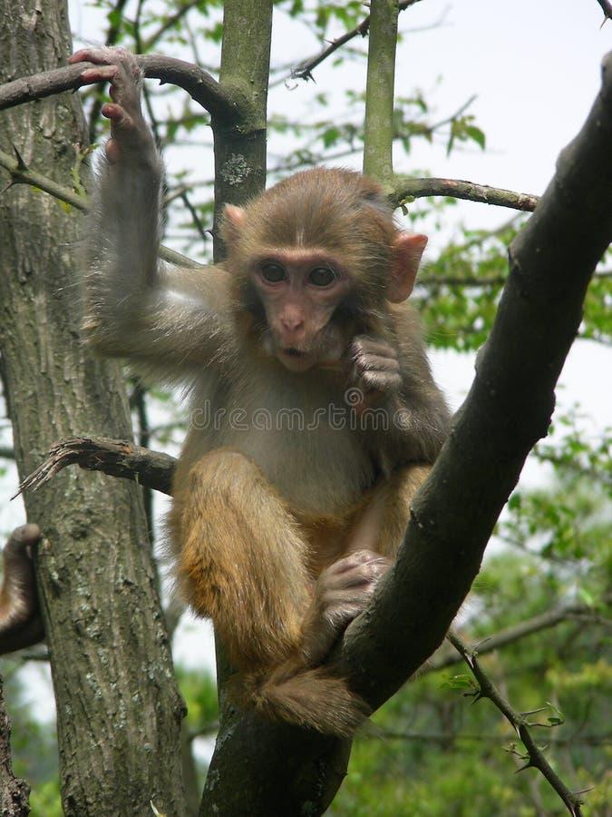 Een aap kan mensen imiteren royalty-vrije stock foto