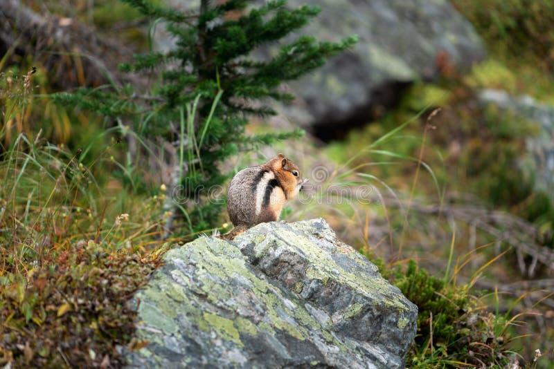 Een aardeekhoorn treft voor de winter voorbereidingen door zo veel te eten aangezien hij misschien kan royalty-vrije stock foto's