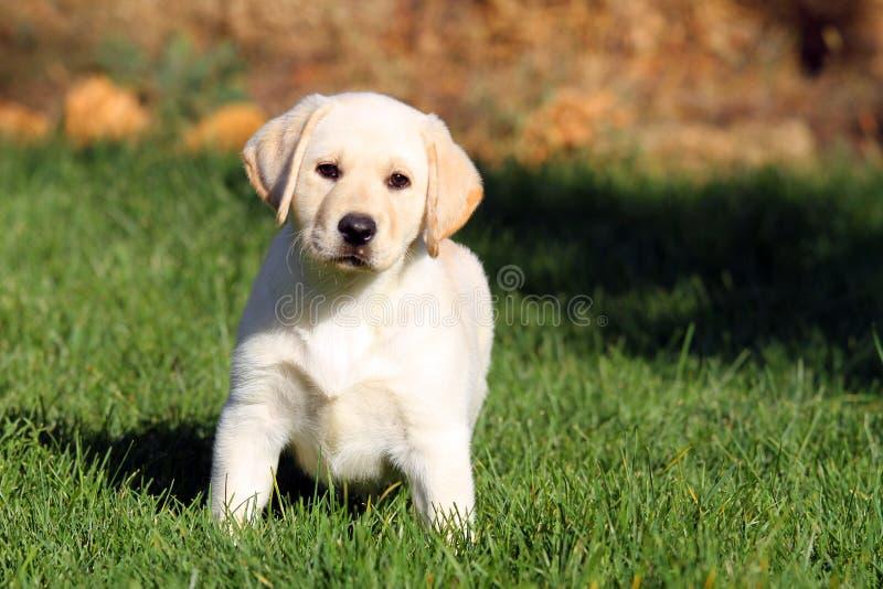 Een aardig geel puppy van Labrador in de zomer stock afbeelding