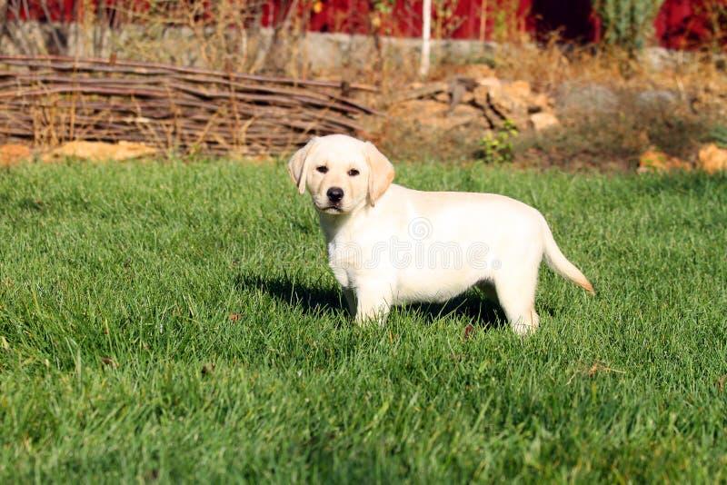 Een aardig klein leuk geel puppy van Labrador in de zomer royalty-vrije stock afbeeldingen
