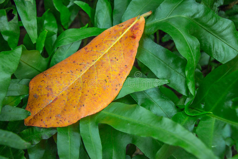 Een aardig oranje blad al alleen in het midden van donkergroene shrubbery Het ` s een concept alsof de menigte het individu in al stock afbeeldingen