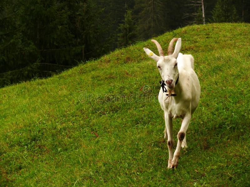 Een aardige geit in de groene weide stock foto