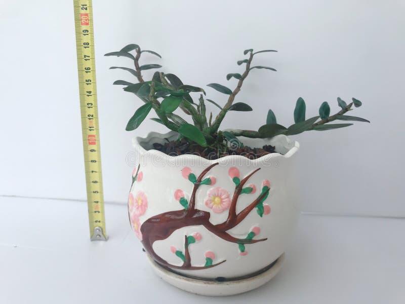 Een aardige het kijken Dendrobium bonsai stock afbeelding