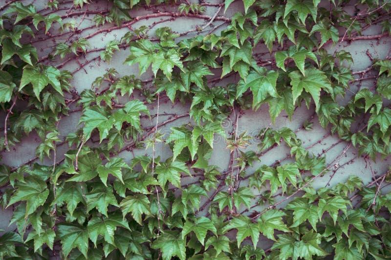 Een abstracte achtergrond van groene klimop gaat weg In meetkunde Zwarte Bessen Grijze muur met houten takken stock fotografie