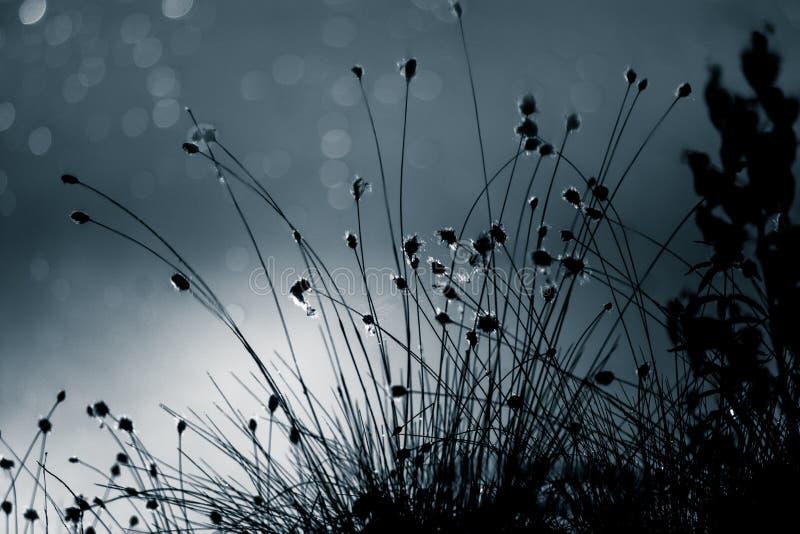 Een abstracte, zwart-wit cottongrassbezinning in een oppervlakte van moerasvijver in blauwe tonen Natuurlijke flora van moeraslan stock afbeeldingen