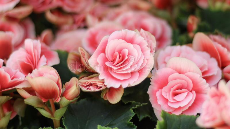 Een achtergrond van gevoelige rozen Zacht toe roze nam bevallig bloemen met onduidelijk beeld op verschillende plannen royalty-vrije stock afbeeldingen
