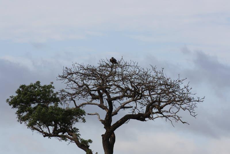 Een adelaar in de bovenkant die van de boom, over alles letten op stock fotografie