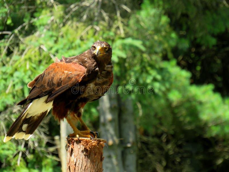 Een adelaar op een post klaar op te stijgen royalty-vrije stock foto