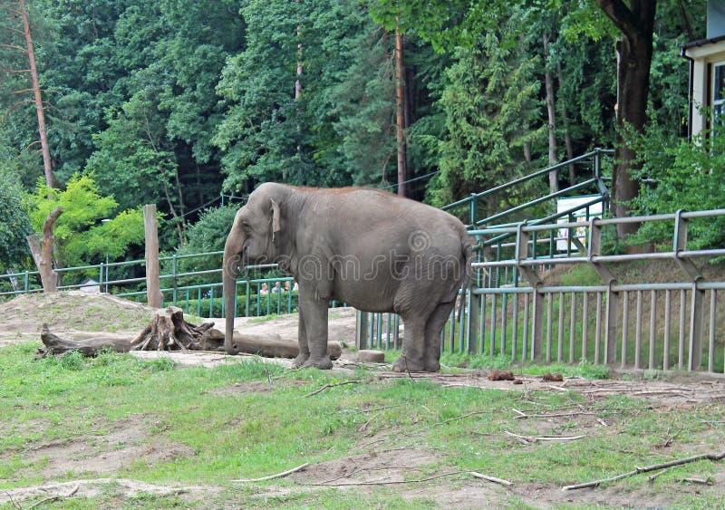 Een Afrikaanse olifant stock foto's
