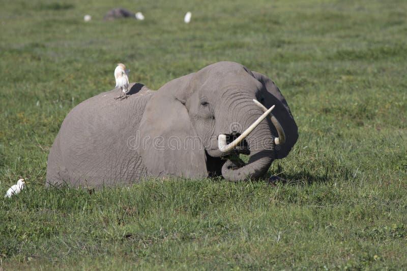 Een Afrikaanse olifant met grote dunne slagtanden die voer in SWA royalty-vrije stock afbeeldingen