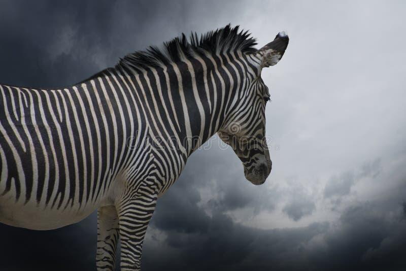 Een Afrikaanse Zebra in een dichte omhooggaande mening stock foto