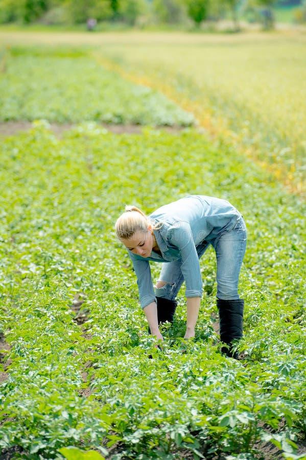 Een agronoomvrouw die aan het gebied van de de zomeraardappel werken stock afbeelding