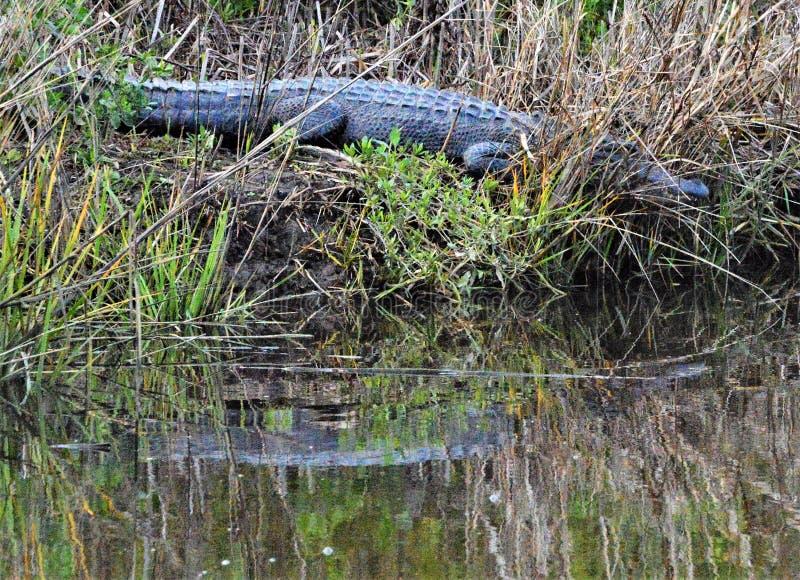 Een alligator neemt in de laatste zon van de dag royalty-vrije stock foto