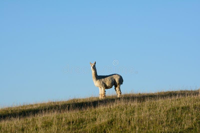 Een alpaca royalty-vrije stock foto
