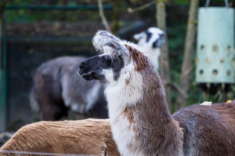 Een alpaca, Vicugna-pacos is geacclimatiseerde species van Zuidamerikaanse kameel royalty-vrije stock fotografie