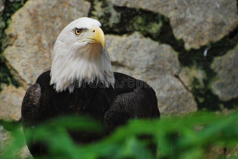 Een Amerikaanse kale adelaar in gevangenschap stock foto