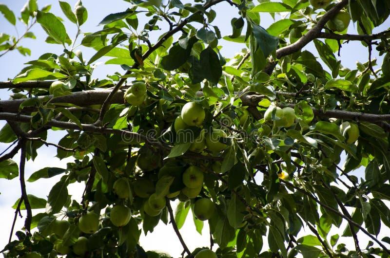 Een appelboom in de tuin met veel groene appelen op de takken royalty-vrije stock afbeeldingen