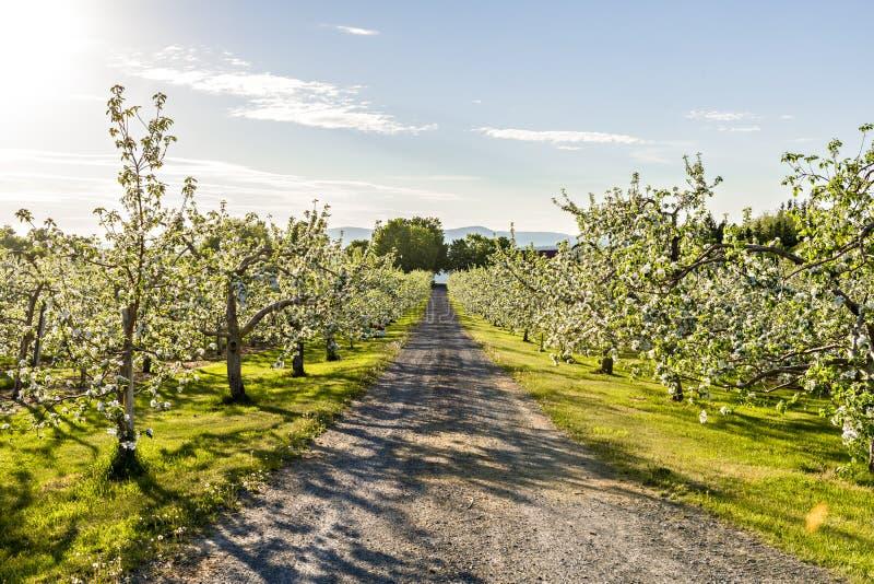 Een Apple-boomgaard met vele bloeiende bomen met witte en roze bloemen tijdens de zomer royalty-vrije stock afbeeldingen