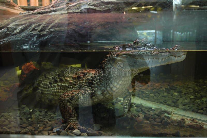 Een aquarium met een krokodil, het waarvan lichaam in het water, en een hoofd met vreselijke vreselijke tanden boven het water is stock afbeeldingen