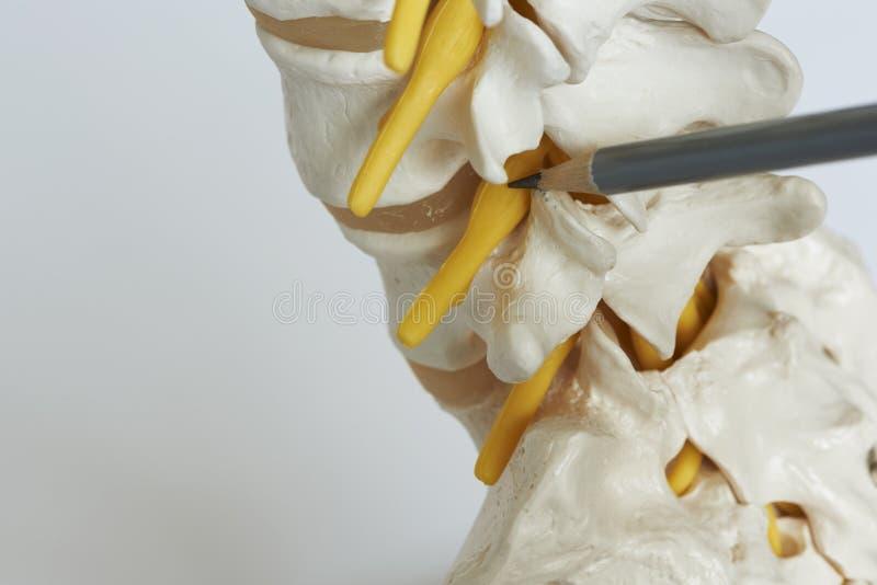 Een arts die op lumbaal ruggewervelmodel richten in medisch bureau stock afbeeldingen