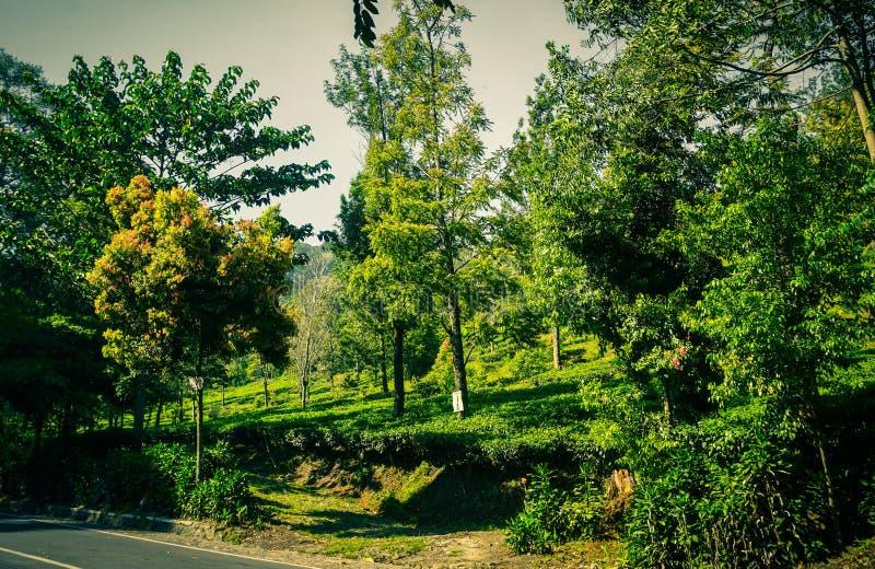 Een asfaltweg met groene boom en theeaanplantingen op de zijweg in puncakbogor royalty-vrije stock afbeeldingen