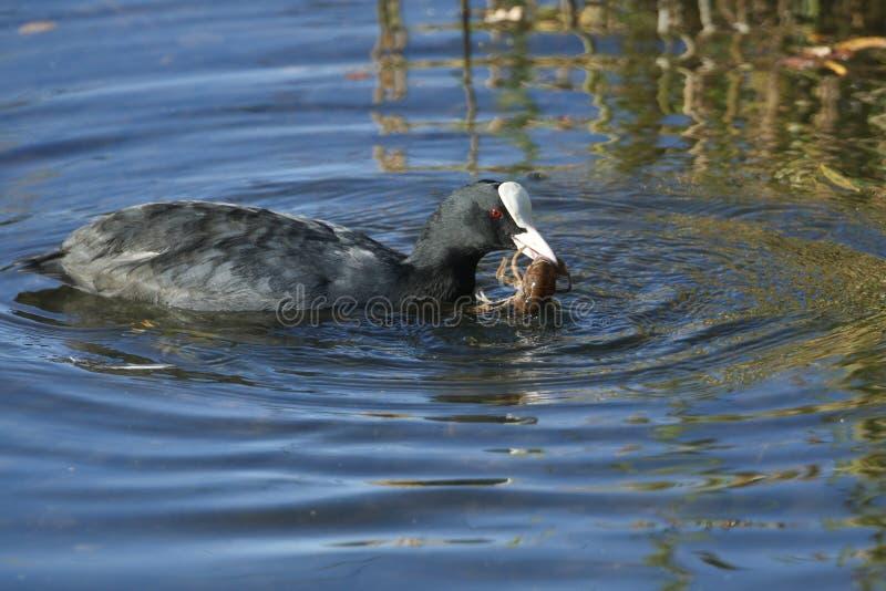 Een atra die van Koetfulica in een meer met een rivierkreeft in zijn bek zwemmen die het enkel heeft gevangen en op het punt gest royalty-vrije stock fotografie