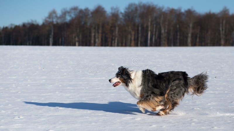 Een Australische herdershond loopt op sneeuw royalty-vrije stock afbeeldingen