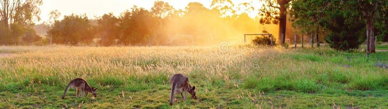 Een Australische Kangoeroe die bij Zonsondergang weiden stock foto's
