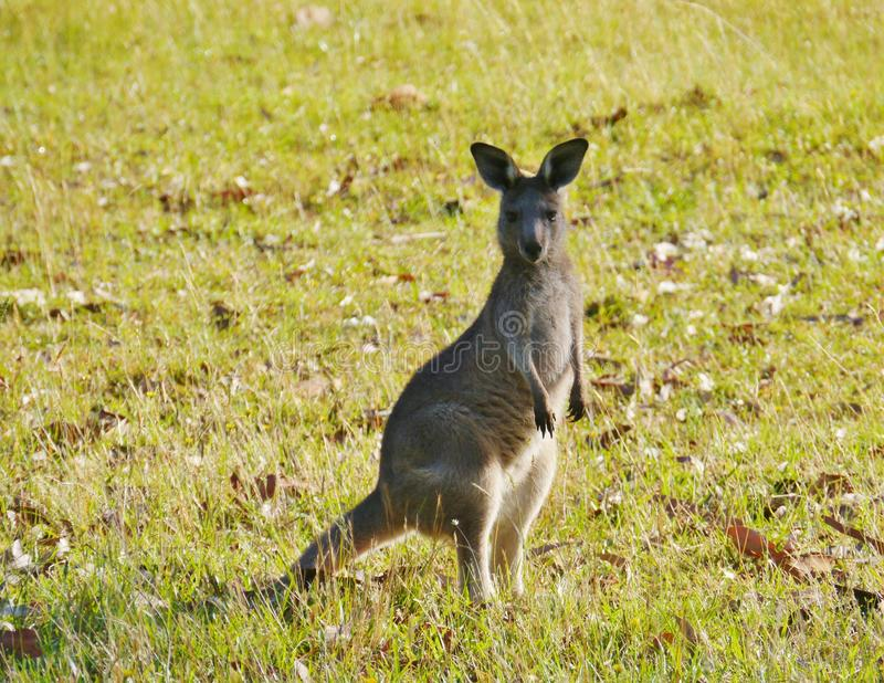 Een Australische Kangoroo stock fotografie