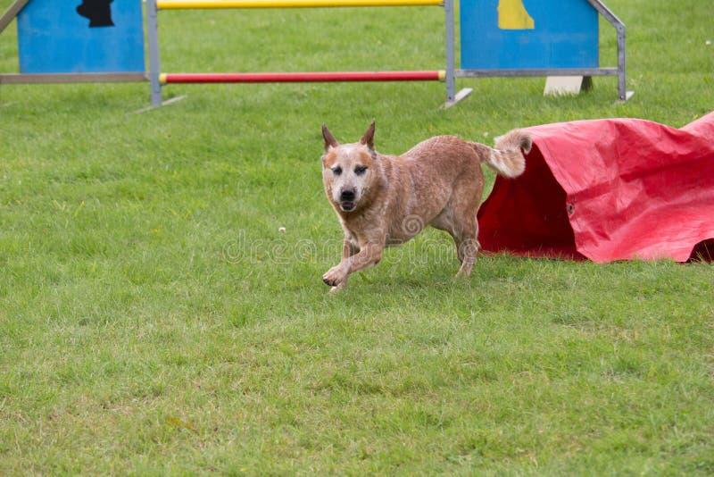 Een Australische veehond in de hondsconcurrentie van behendigheidspassage in de tunnel stock afbeelding