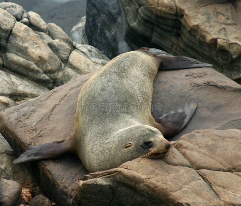 Een Australische zeeleeuw rust op de rotsen stock afbeelding