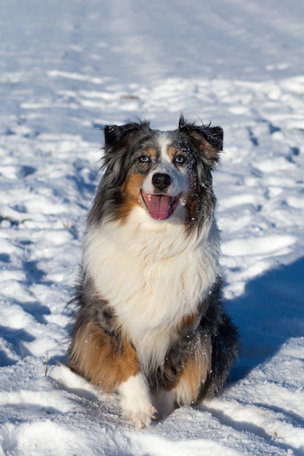 Een Australische zitting van de herdershond in de zonneschijn in de sneeuw royalty-vrije stock foto