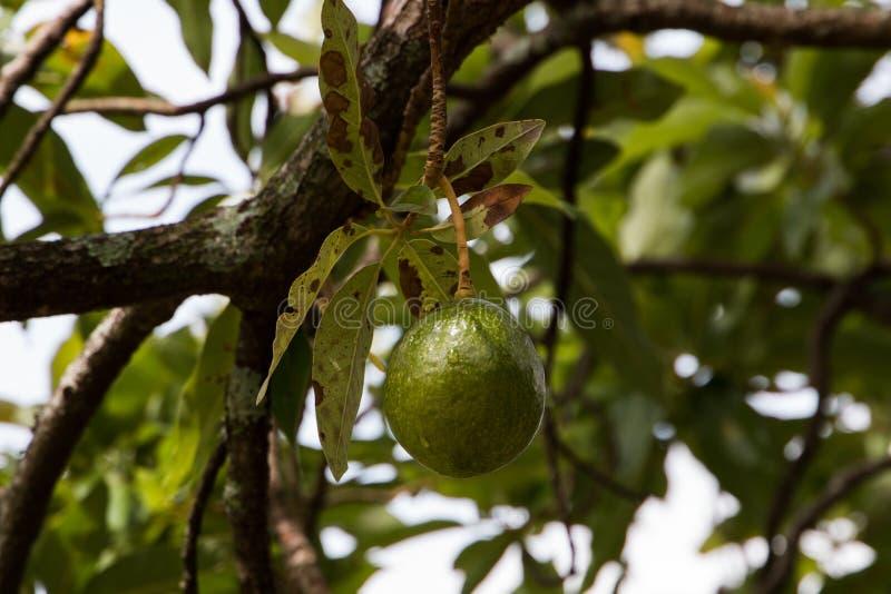 Een avocadofruit die in boom hangen stock foto's