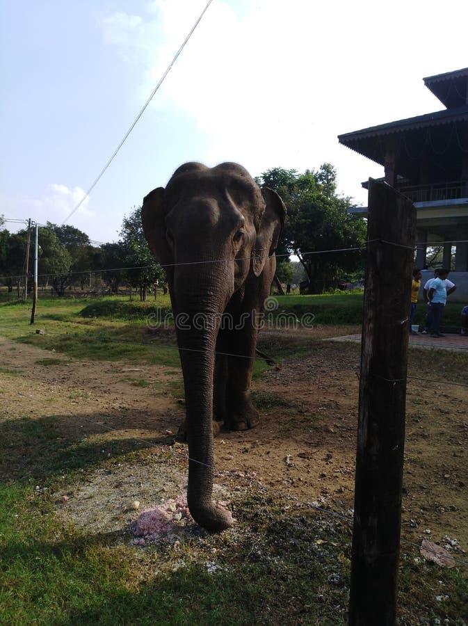 Een Aziatische olifant in Sri Lanka stock foto