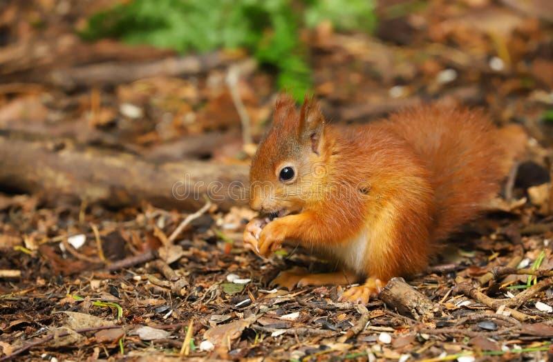 Een baby Rode Eekhoorn vulgaris Sciurus stock afbeelding