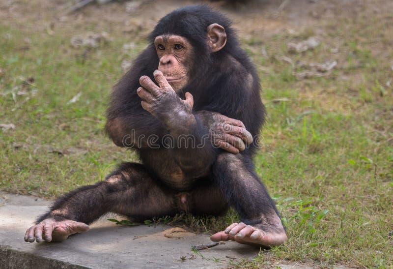 Een babychimpansee bij een dierentuin in Kolkata De chimpansees worden beschouwd als de meeste intelligente primaten royalty-vrije stock afbeeldingen