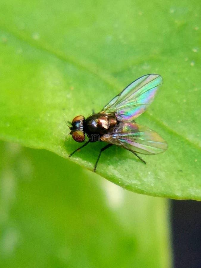 Een babyvlieg die op een blad rusten royalty-vrije stock afbeelding